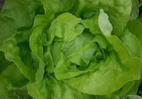 牛油沙拉菜(青色) Green Butter Lettuce