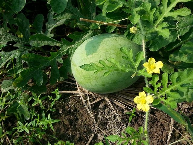 玉蘭西瓜(青皮黃肉)  Water melon