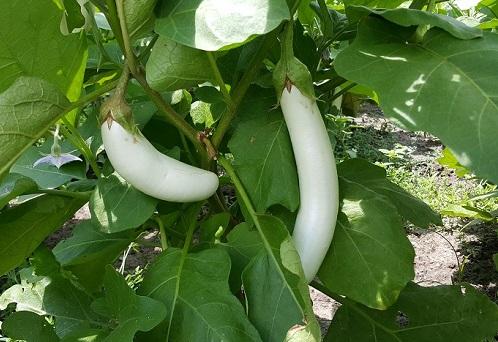 白色茄子 White Eggplant