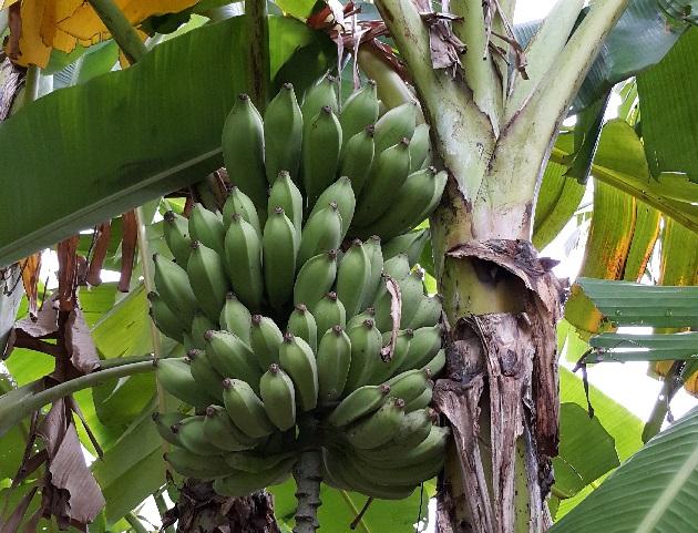 大蕉 Plantain Banana