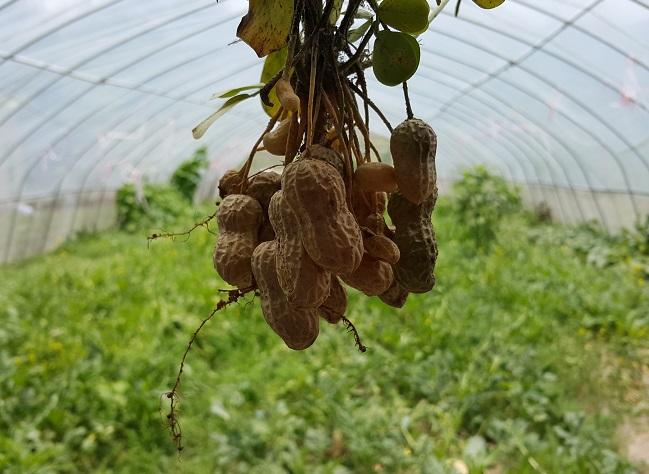 花生(新鮮採摘) peanut(Fresh)