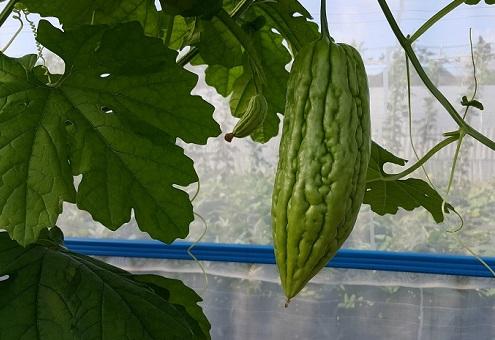 苦瓜(青色) bitter gourd