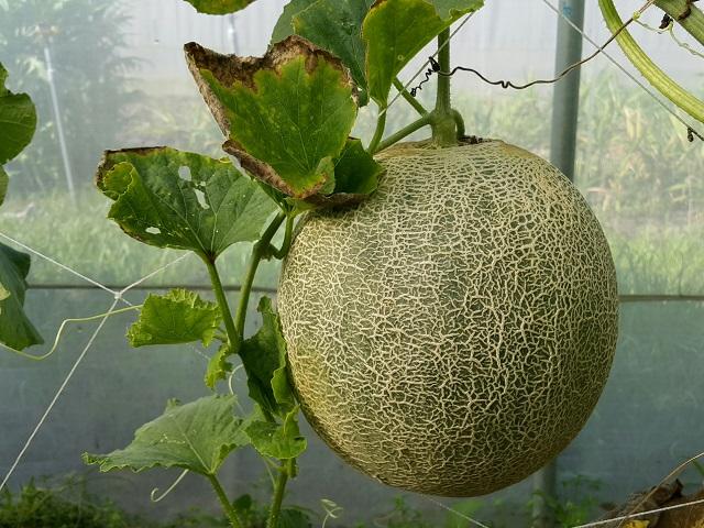 網文瓜 Wangwen melon