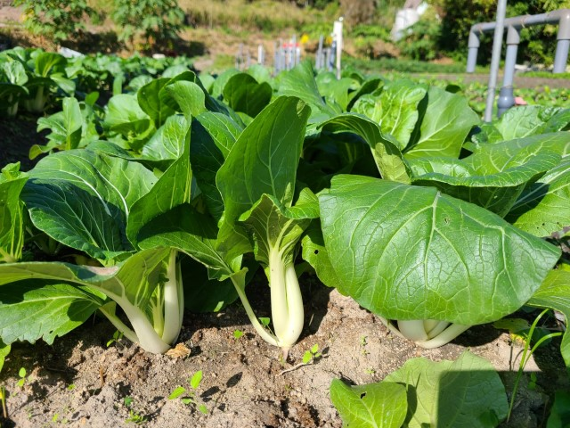 白菜Chinese white cabbage