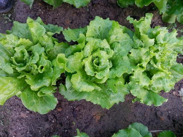 唐生菜 Chinese lettuce