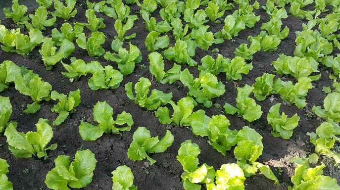 意大利生菜 Italian lettuce