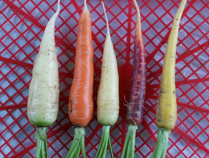 彩色甘筍 Color carrot