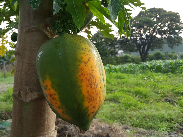木瓜(熟) papaya(mature)