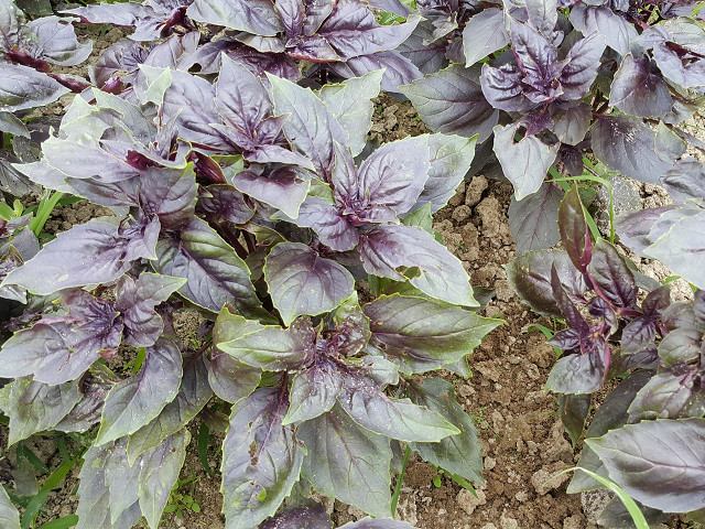 紫色九層塔 Purple basil