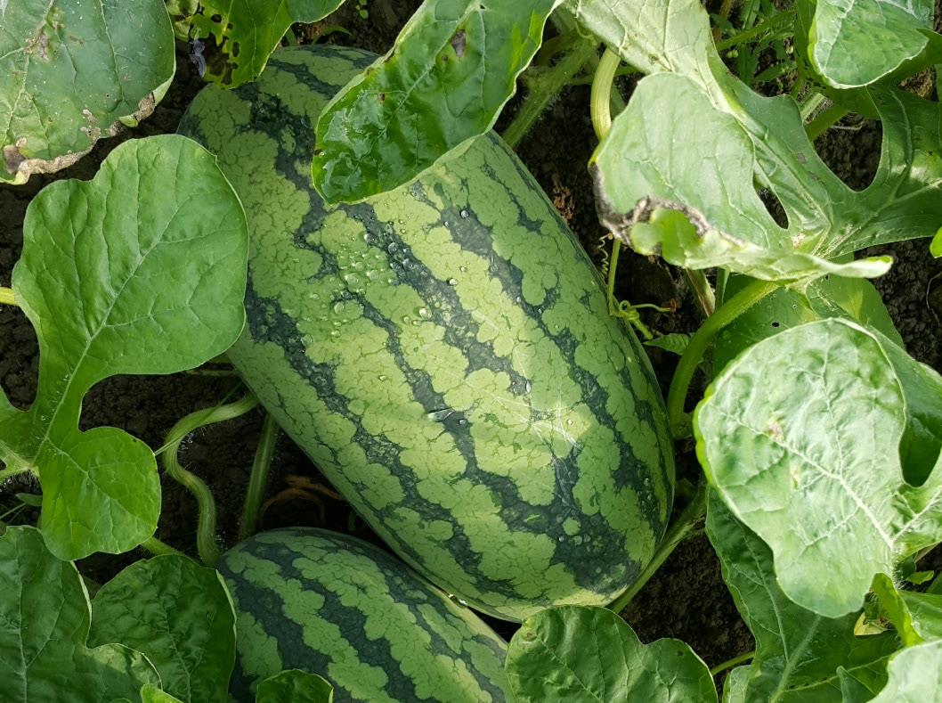 西瓜 (黑美人)Watermelon