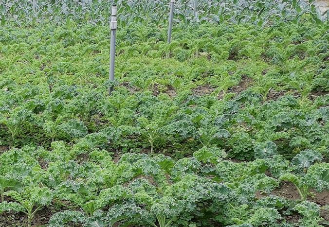 羽衣甘藍(羽毛) Kale