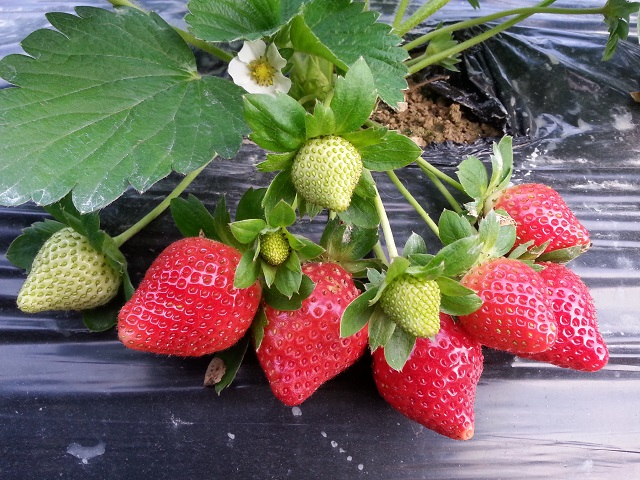 草莓 Strawberry