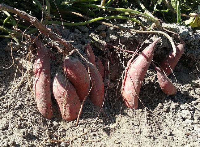 番薯(黃肉) Sweet potato