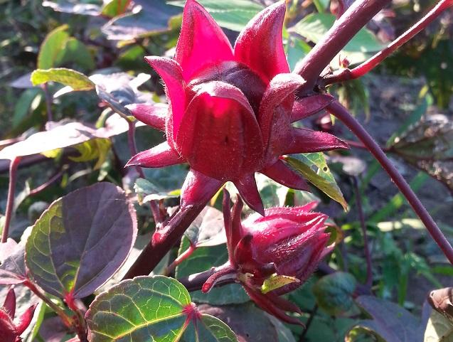 洛神花 Roselle Flower