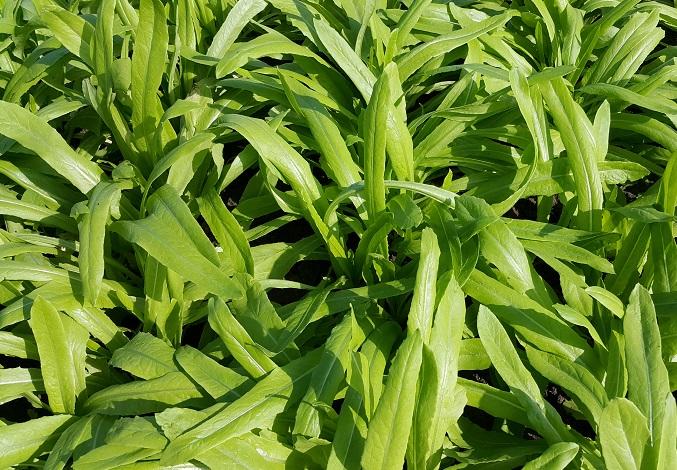 油麥菜 Indian Lettuce