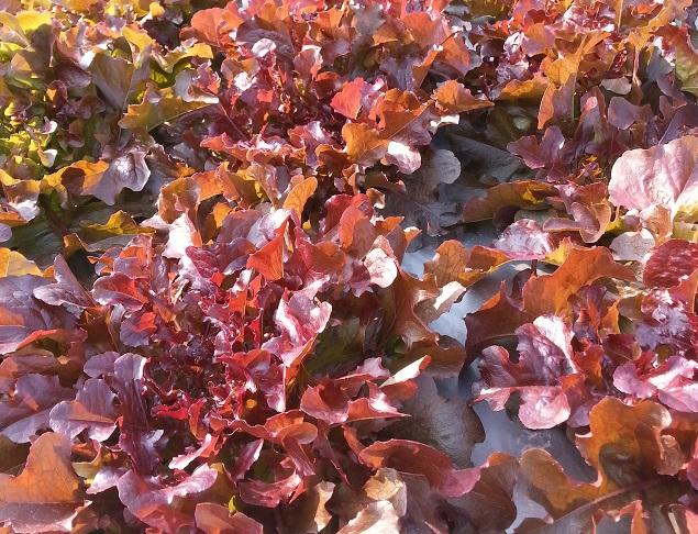 紅珊瑚沙律菜 Red Coral