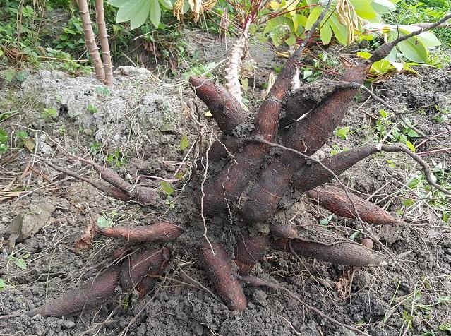 木薯(麵包薯) White Cassava