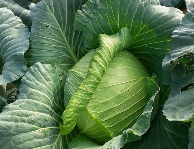 椰菜(青色) Green Cabbage