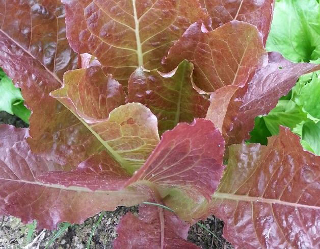 紅色沙拉菜 Red Lettuce