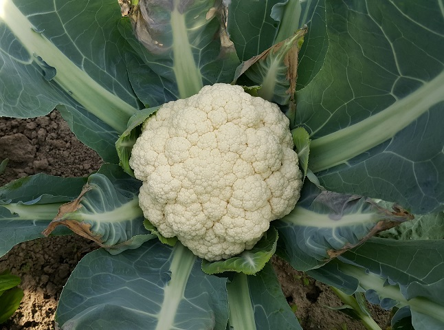 椰菜花(白色) Cauliflower