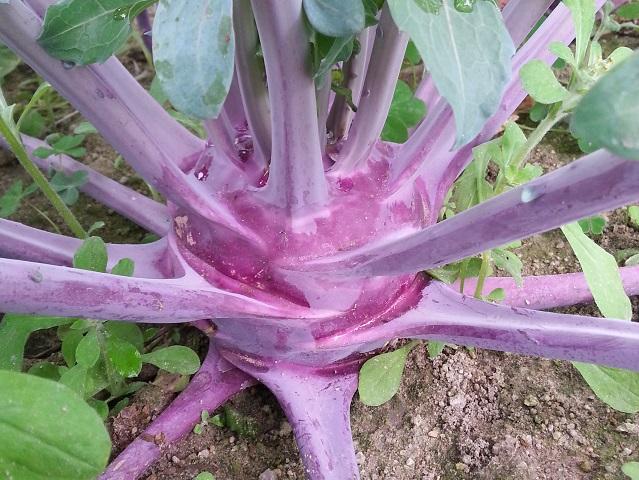 芥蘭頭(紫色) Kohl Rabi