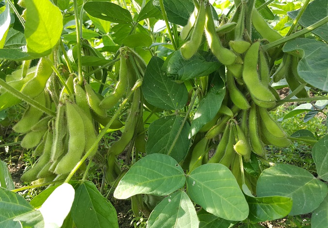 毛豆 Green soybean