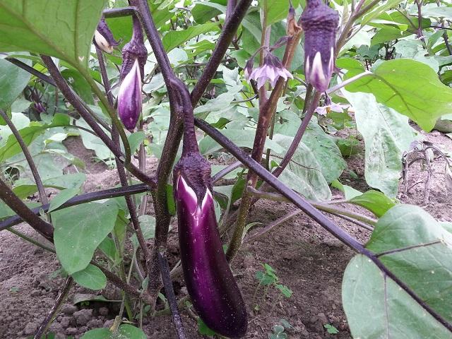 紫色茄子 Eggplant