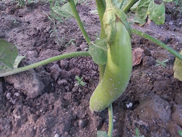 青色茄子 Green Eggplant