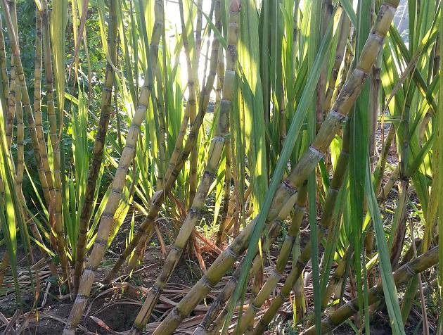 甘蔗 Sugar cane