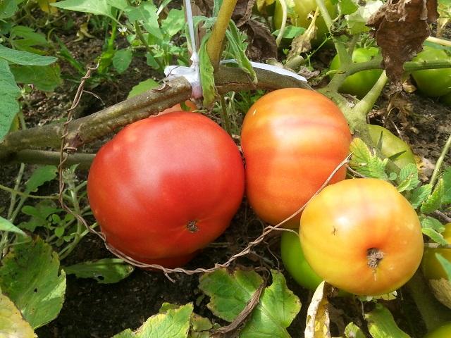 番茄 Tomato