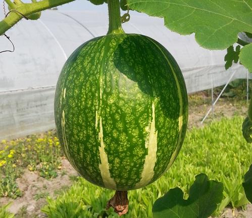 魚翅瓜 Shark fin melon