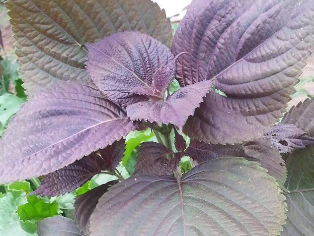紫蘇葉 perilla frutescens