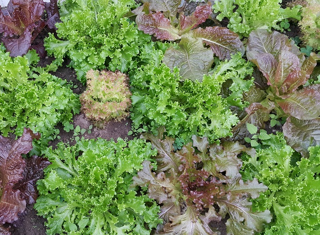 沙拉菜(5款/雜色)  Salad Lettuce(Five species)