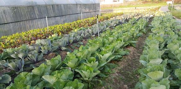 2016冬季椰菜現在上市!