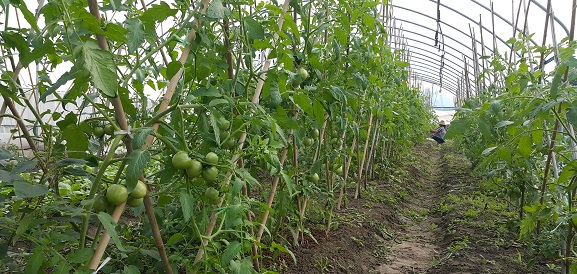 2016的番茄準備上市!